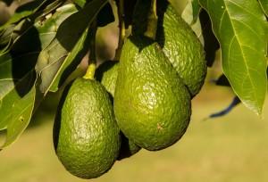 frische avocado auf baum