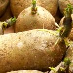 sind keimende kartoffeln giftig