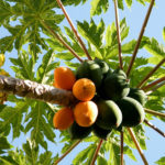 Papaya Blätter